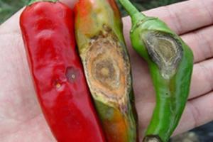 썸네일 이미지 : 농촌진흥청, 채소‧과수 탄저병 철저한 방제 당부