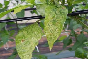 썸네일 이미지 : 세계 전문가, 식물 바이러스병 방제 방안 찾는다